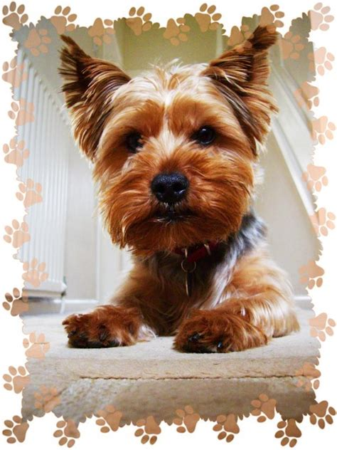 yorkie information and facts terrier facts and information viovet