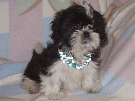 shih tzu clubs beautiful kennel club registered shih tzu driffield east of