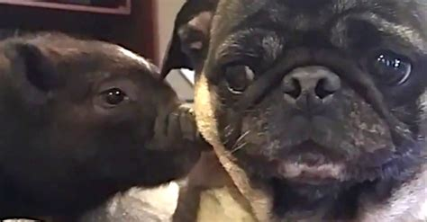 pig pug pug meets a mini pig and its reaction is priceless
