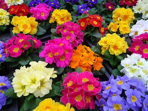 what color is primrose s the plant farm