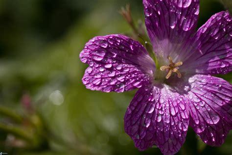 fiore con la a fiore viola