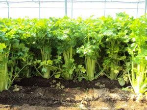 coltivazione sedano 5 consigli su come coltivare il sedano garden4us
