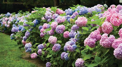 Flowering Garden Shrubs Flowering Shrubs Copia Home Garden