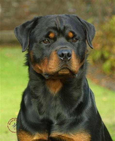 pitbull with rottweiler markings 2759 best images about rotts pitts mastiffs on american pit blue pits