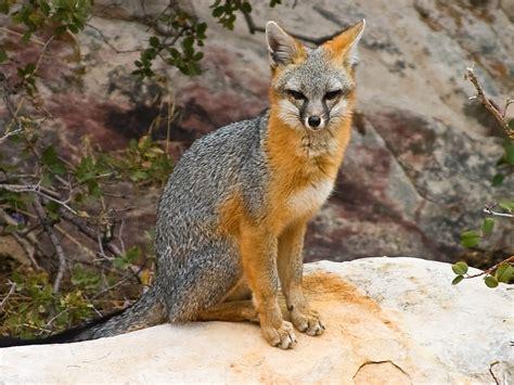 gray fox rabies activity quadrupled   arizona counties abc arizona