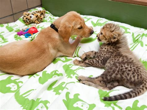 baby cheetah cub to become part of busch gardens cheetah cheetah cub and puppy are best friends at busch gardens