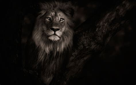 Wallpaper Black Lion | black male lion wallpaper