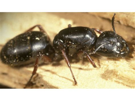 how to find carpenter ants in your home danbury ct patch