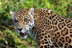 Jaguars Cat Jaguar Facts And Pictures