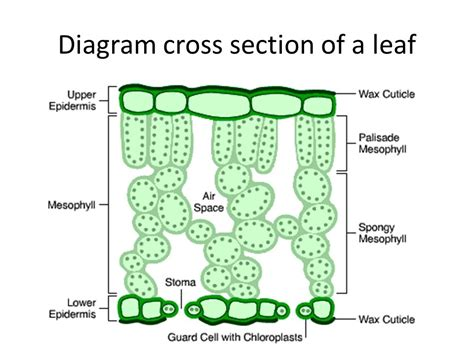 diagram of cross section of a leaf aqa biology september ppt