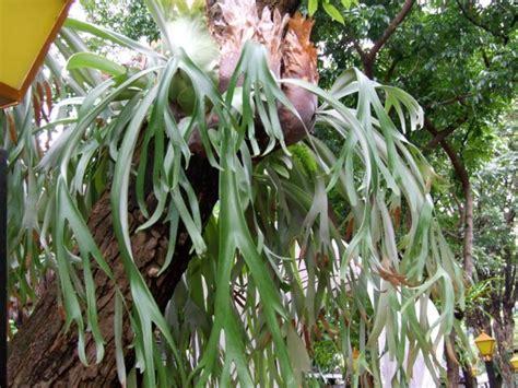 plantae tumbuhan paku pteridophyta