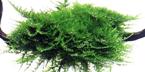vesicularia dubyana christmas tropica aquarium plants
