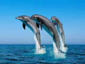 Charmant Ordinateur Portable Bureau En Gros #7: Dolphin-Jumping_Bottlenose_Dolphins.jpg