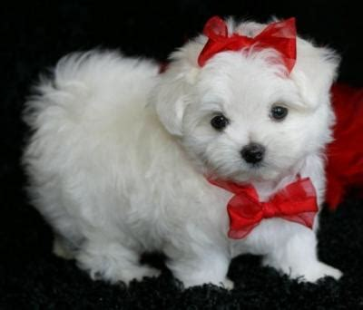 teacup maltese puppies for adoption healthy teacup maltese puppies for free adoption