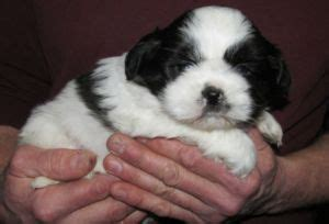 shih tzu puppies for sale ta shih tzu sale united kingdom shih tzu puppies buy buy shih tzu breeders shih tzu