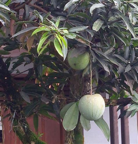 Bibit Mangga Kelapa 60cm mangga kelapa berbuah di pekarangan bebeja