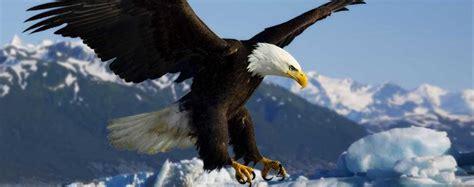animali volanti aquila calva haliaeetus leucocephalus animali volanti
