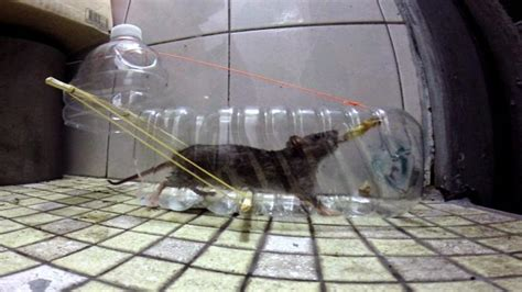 cara membuat jebakan tikus rumahan begini cara membuat perangkap tikus dari botol bekas yang