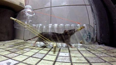 cara membuat jebakan tikus got begini cara membuat perangkap tikus dari botol bekas yang