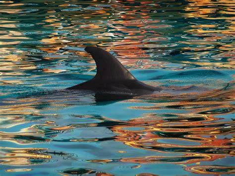 dolphin fin nature  photo  pixabay