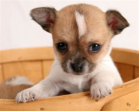 chi puppy pictures of chihuahua puppies pets world