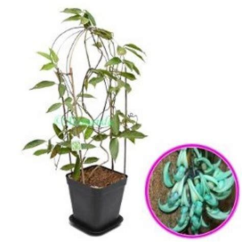 jual tanaman jade vine hp