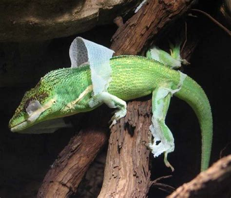 How Often Does Your Skin Shed by Lizard Skin Problems