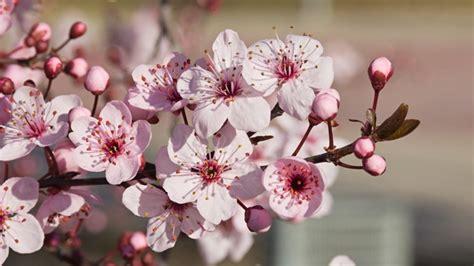 cherry plum ceras 237 fera flores de bach nutrioptima