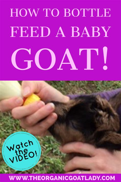 How Not To Bottle Feed by How To Bottle Feed Your Newborn Goat The Organic