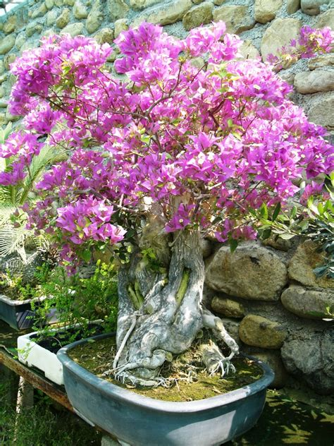 bonsai fiori i bonsai da esterno con fiori e bacche