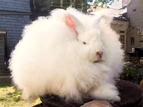 new zealand angora rabbit shearing at waitomo