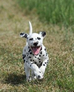 how much are dalmatian puppies 1000 images about puppies on dalmatians dalmatian puppies and