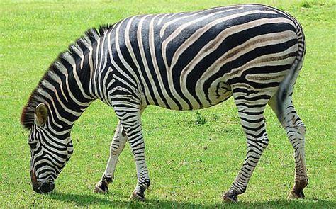 google images zebra zebra picture funny animal