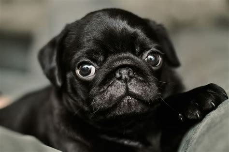 pug screensavers pug wallpaper screensaver background black pugs