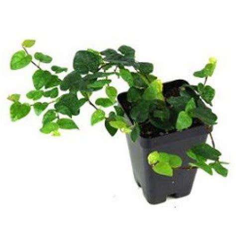 Jual Bibit Ficus Repens jual tanaman creeping ficus dolar kecil hp 085608566034