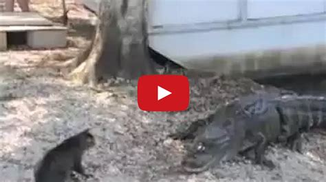 cat saves boy from cat saves boy from two vicious gators cat vs gators