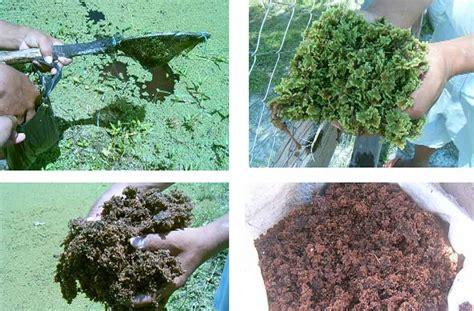 Azolla Kering kolamazolla manfaat tanaman azolla