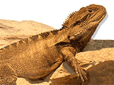 australian backyard lizards keeping lizards and snakes burke s backyard