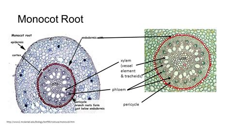 monocot root diagram lab 8 angiosperms ppt