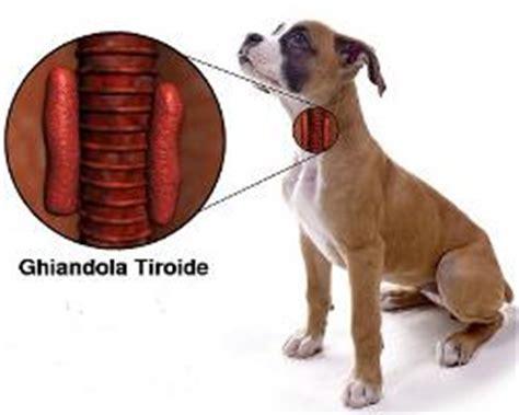 che problemi porta la tiroide cani e tiroide ecco quali sono i problemi dell