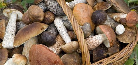funghi gallinacci come cucinarli funghi come prepararli e cucinarli