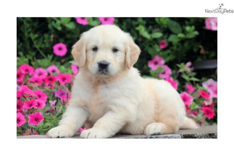 golden retriever paws paws golden retriever puppy for sale near lancaster