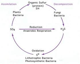 sulfur cycle diagram and explanation images