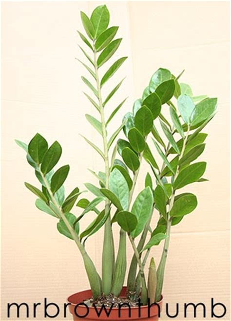 low light flowering plants zz plant easy low light houseplant mrbrownthumb