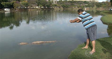 jacare  visto neste sabado na lagoa da pampulha em