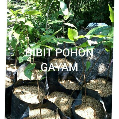 Jual Bibit Daun Salam Koja bibit tanaman pohon gayam anget anget