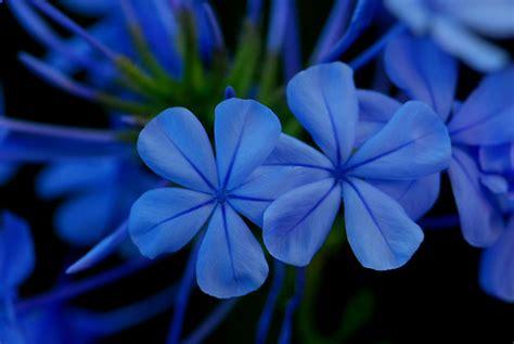 Fiori Azzurri Estivi by My Blue Flower Plumbago Auriculata No