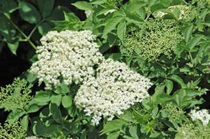 Plant Identification By Flower And Leaf - the elder tree everyday nature trails
