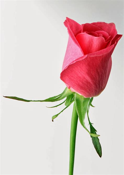 free wallpapers red rose love single 2014http my143rose