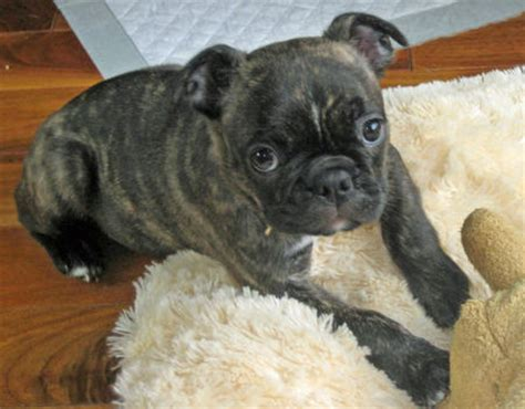pug boston terrier mix price images and places pictures and info boston terrier mix